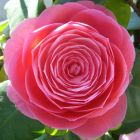 Camellia japonica rosa  semi