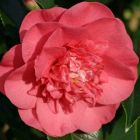 Camellia japonica salomon Cam?lia - Rose du Japon graines
