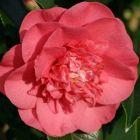 Camellia japonica salomon Kamelie - Teestrauchgew?chs Samen