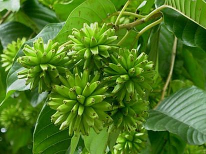 Camptotheca acuminata Happy Tree - Tree of Life seeds