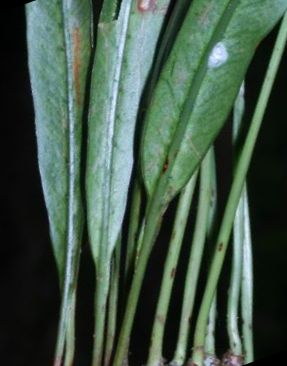 Campyloneurum amphostenon Fern seeds