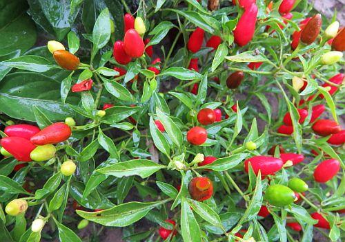 Capsicum tepin Bird Pepper seeds