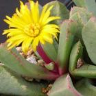 Carruanthus peersii Sukkulente Samen