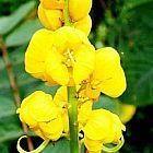 Cassia angustifolia Senna semillas
