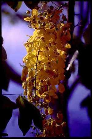 Cassia fistula golden shower tree seeds