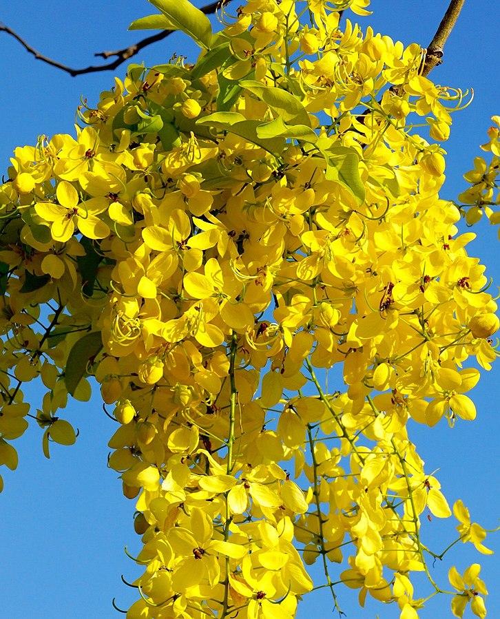 Cassia fistula ?rbol de la lluveia dorada semillas