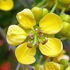Cassia siamea Cassia du Siam graines