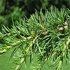 Cedrus libani  semi