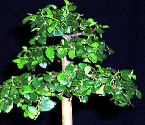 Celtis africana white stinkwood seeds