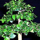 Celtis africana bonsa? graines