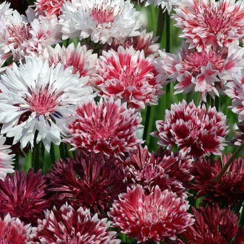 Centaurea cyanus Cornflower Classic Romantic Cornflower Classic Romantic seeds