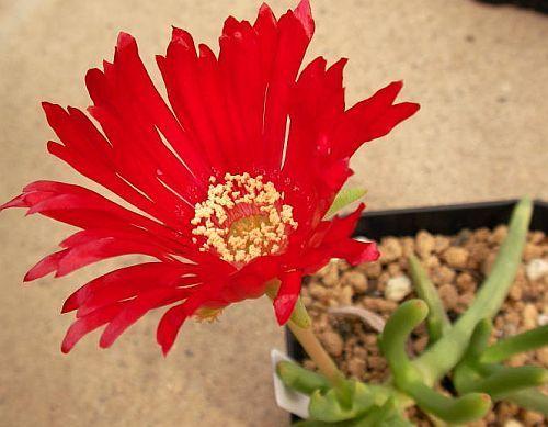 Cephalophyllum alstonii Red Spike Ice Plant seeds