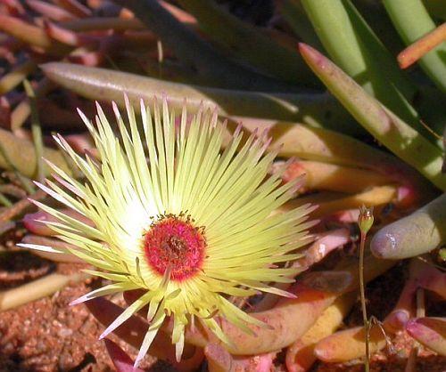 Cephalophyllum pillansii succulent seeds