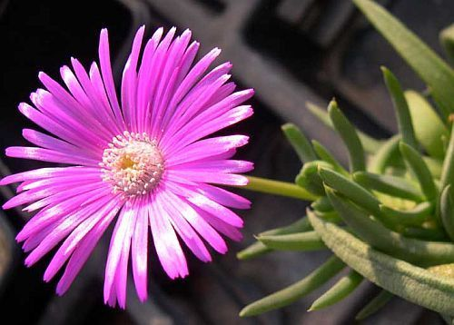 Cephalophyllum pulchrum Pink Spike Iceplant seeds