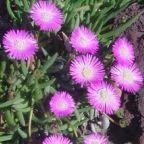 Cephalophyllum pulchrum suculento semillas