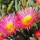 Cephalophyllum spongiosum succulente graines