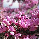 Cercis canadensis Gainier du Canada Forest Pansy graines
