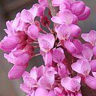 Cercis chinensis brote rojo chino semillas