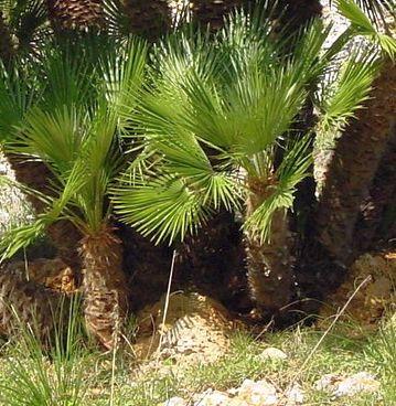 Chamaerops humilis Dwarf Fan Palm seeds