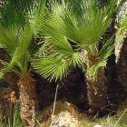 Chamaerops humilis Palmier nain graines