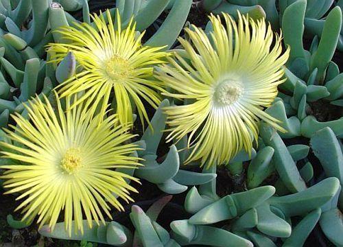 Cheiridopsis carinata succulent seeds