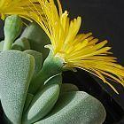 Cheiridopsis vanzylii succulento semillas
