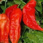 Chili Bhut Jolokia hot pepper
