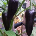 Chili Black Hungarian  semillas