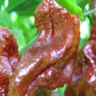 Chili Chocolate Bhut Jolokia Chili Samen Samen
