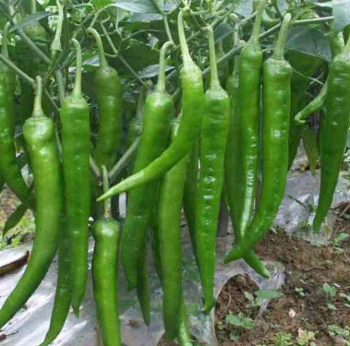 Chili Green Hot Hot Pepper Green Hot seeds