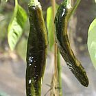 Chili Pasilla Bajio piment graines