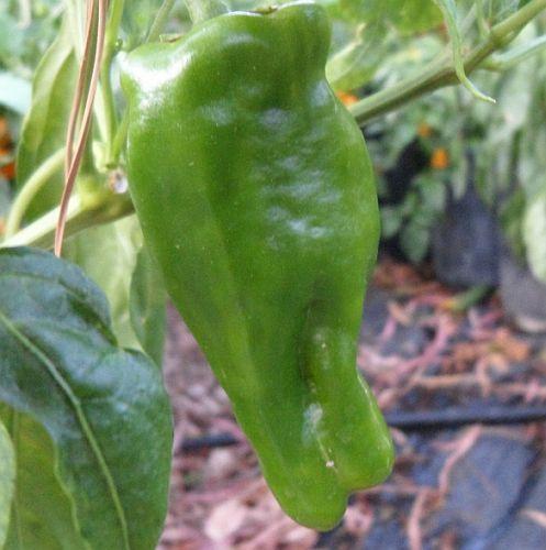 Chili Pimiento de Padron hot pepper seeds
