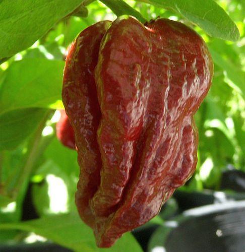 chili trinidad douglah 7 pot