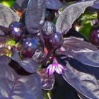 Chilli Black Pearl  semillas