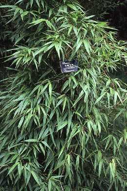 Chimonobambusa yunnanensis black bamboo - cold hardy seeds