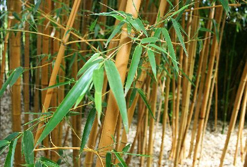 Chimonocalamus delicatus hardy clumping bamboo seeds