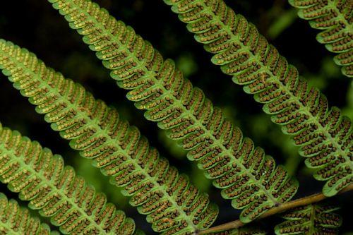 Christella sp fern seeds