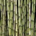 Chusquea culeou Зимостойкий бамбук  cемян