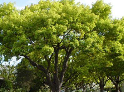Cinnamomum camphora Camphor Tree seeds