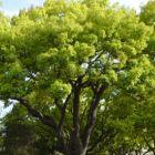 Cinnamomum camphora  semi