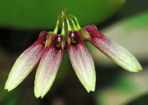 Cirrhopetalum lepidum orchid seeds