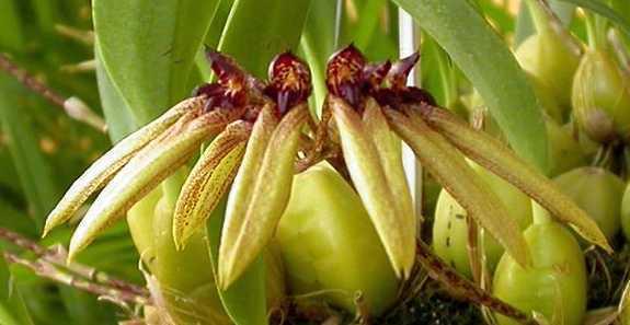Cirrhopetalum picturatum orchids seeds
