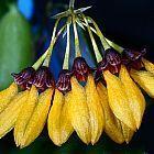 Cirrhopetalum retusiusculum orqu?dea semillas