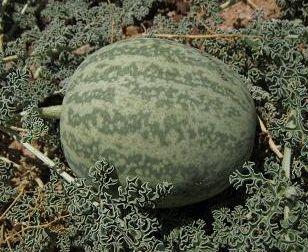 Citrullus ecirrhosus Namib tsamma seeds