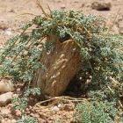Citrullus ecirrhosus  semillas