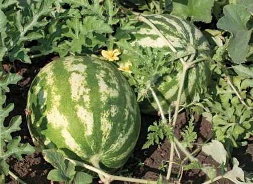 Citrullus lanatus water melon seeds