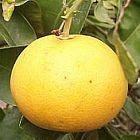 Citrus maxima Грейпфрут   cемян