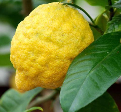Citrus medica - citron seeds