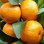 Citrus reticulata Mandarine Samen