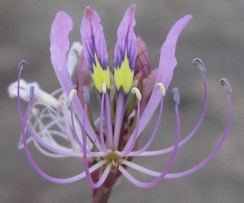 Cleome hirta Sticky Purple Cleome - Sticky Purple Mousewhiskers seeds